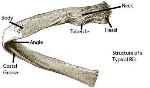 typical-rib
